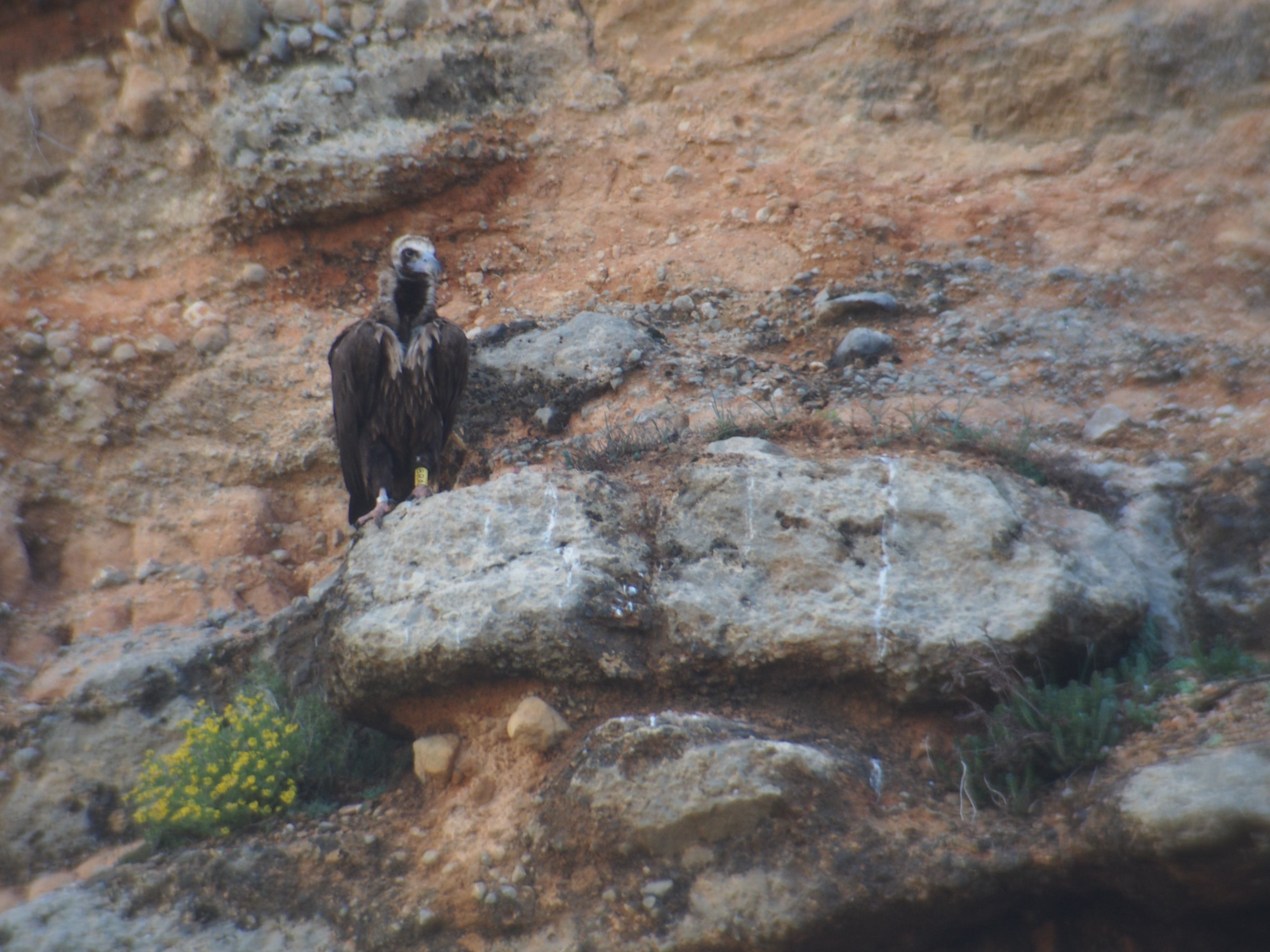 Buitre negro posado en un risco en los Pirineos.