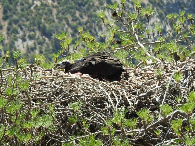 Cría de buitre negro en su nido, con el radiotransmisor que le ha sido colocado en la espalda para su seguimiento.