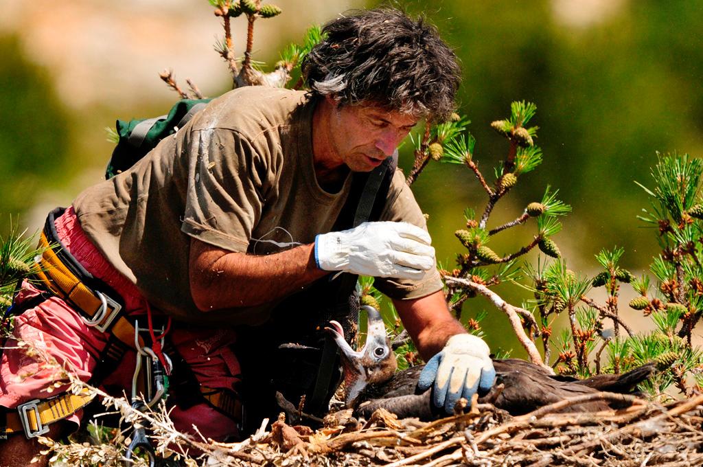 Mario Álvarez examina un pollo de buitre negro en su nido.