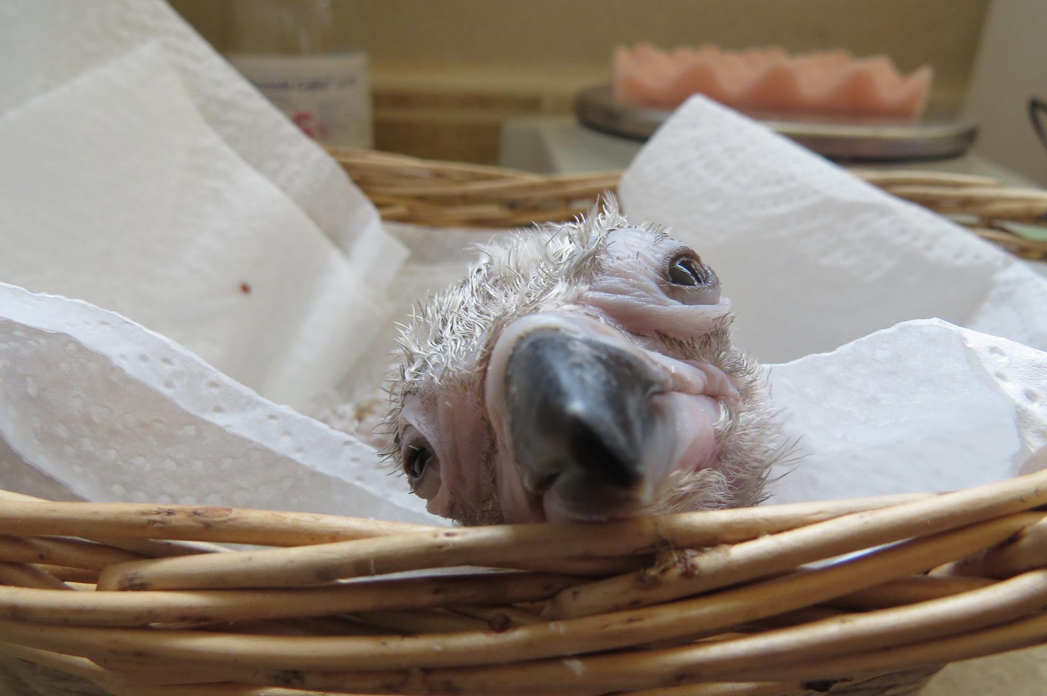 Pollo de buitre negro durante su ceba.