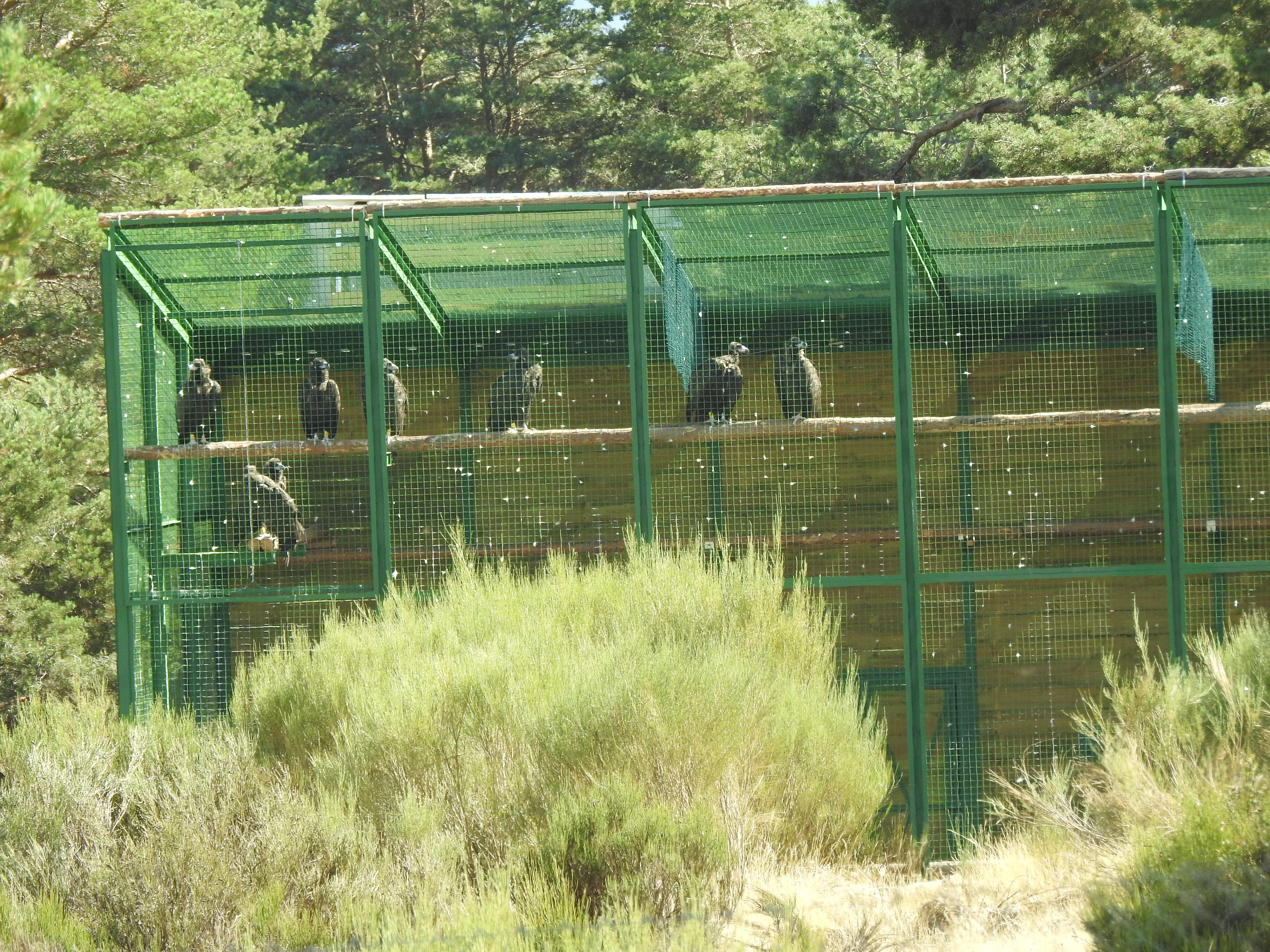 Instalacion de aclimatación de buitres negros en la Sierra de la Demanda.
