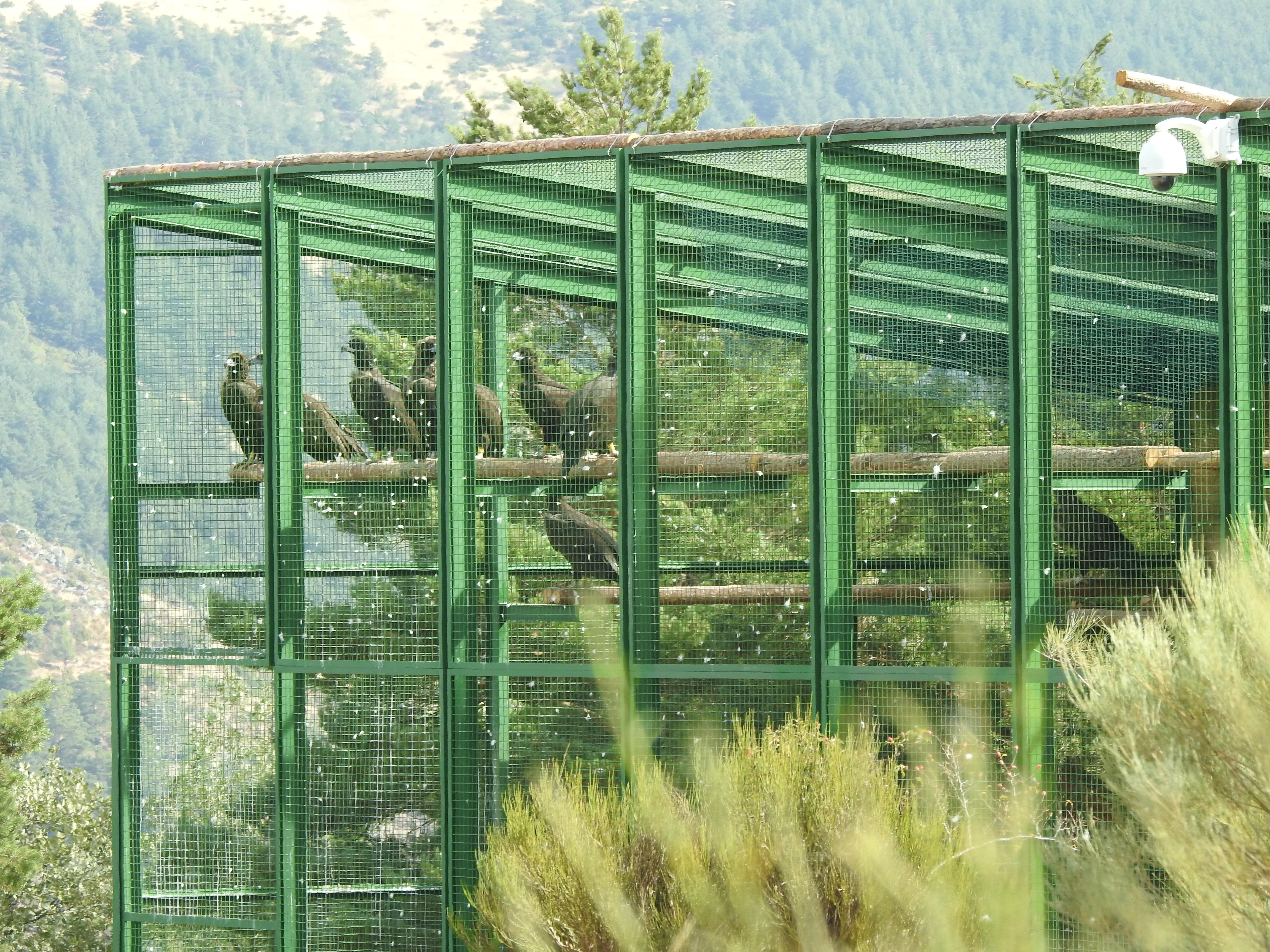 Instalación de aclimatación para los buitres negros que están siendo reintroducidos en la Sierra de la Demanda.