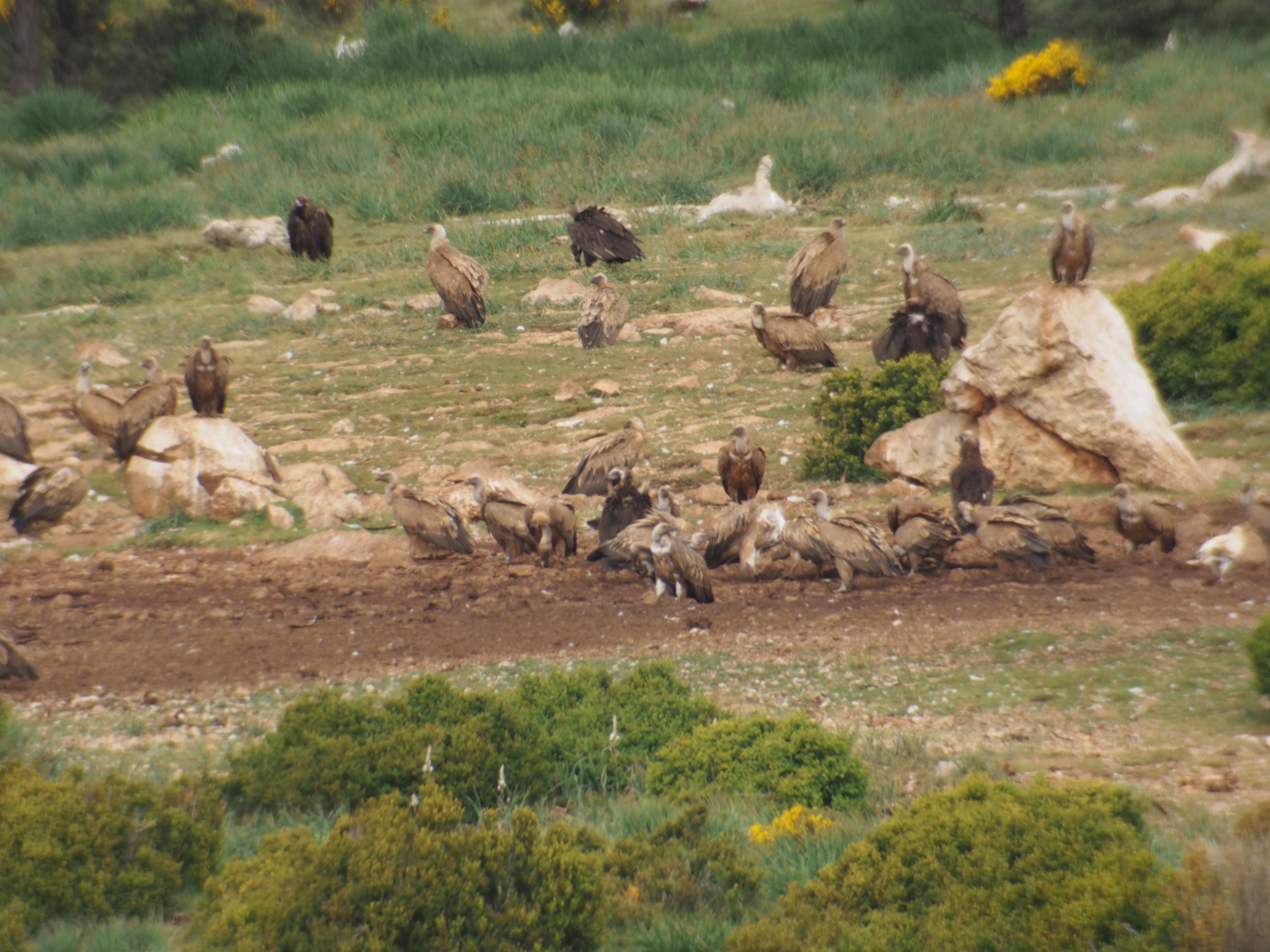 Buitres negros y leonados alimentándose en uno de los Puntos de Alimentación Específicos (PAE).