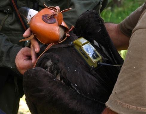 Colocación del radiotransmisor de uno de los buitres negros.