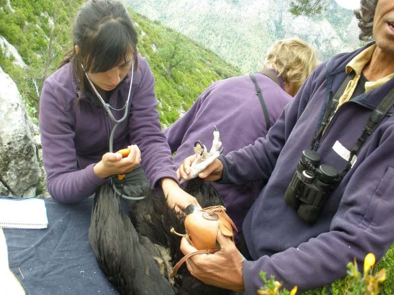 Revisión durante el marcaje de un buitre negro.