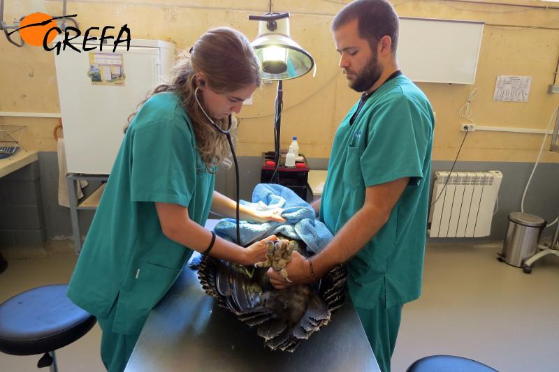 Veterinarios del hospital de fauna revisan un buitre negro.