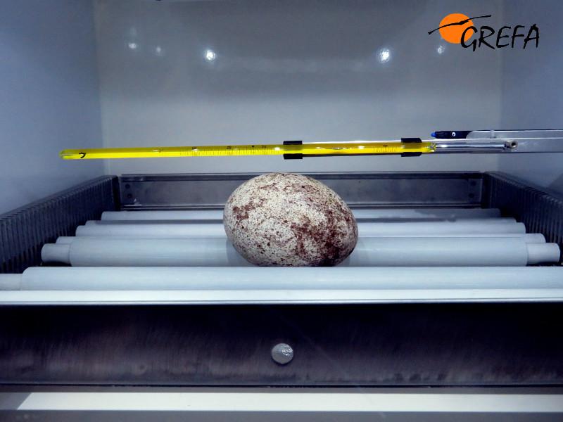 Huevo de buitre negro en la incubadura de nuestro centro de cría. De aquí nacería nuestro pollo de 2017.