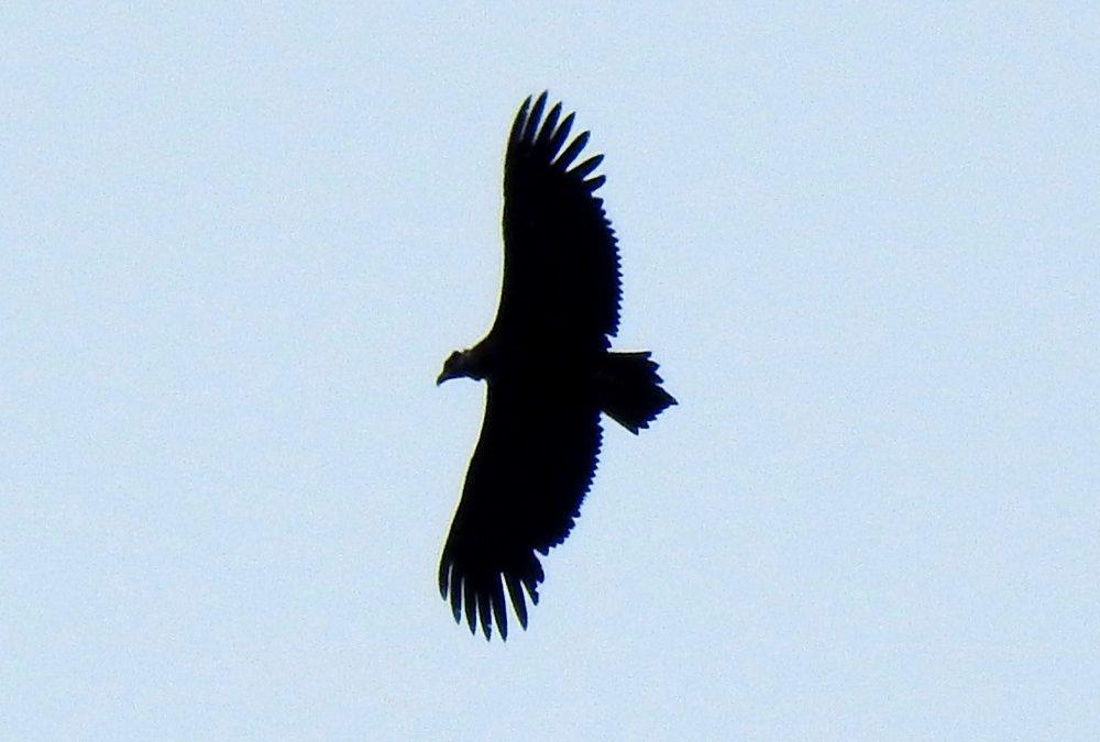 Ya vuela el primer pollo de buitre negro de la temporada en la colonia de Boumort (Pirineos), hijo de 'Bruna' y 'Corneli'