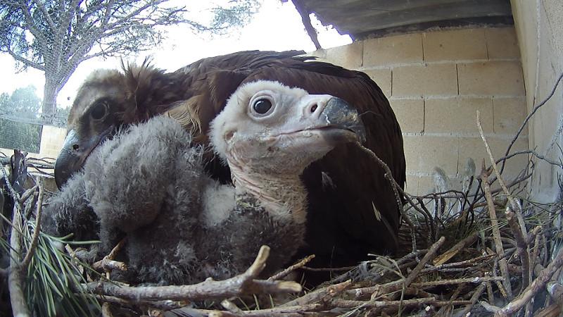 Pollo de buitre negro en su nido en GREFA