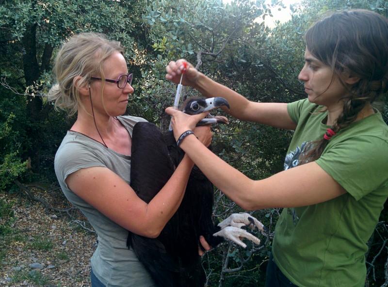 Así marcamos al último pollo de buitre negro nacido en Boumort
