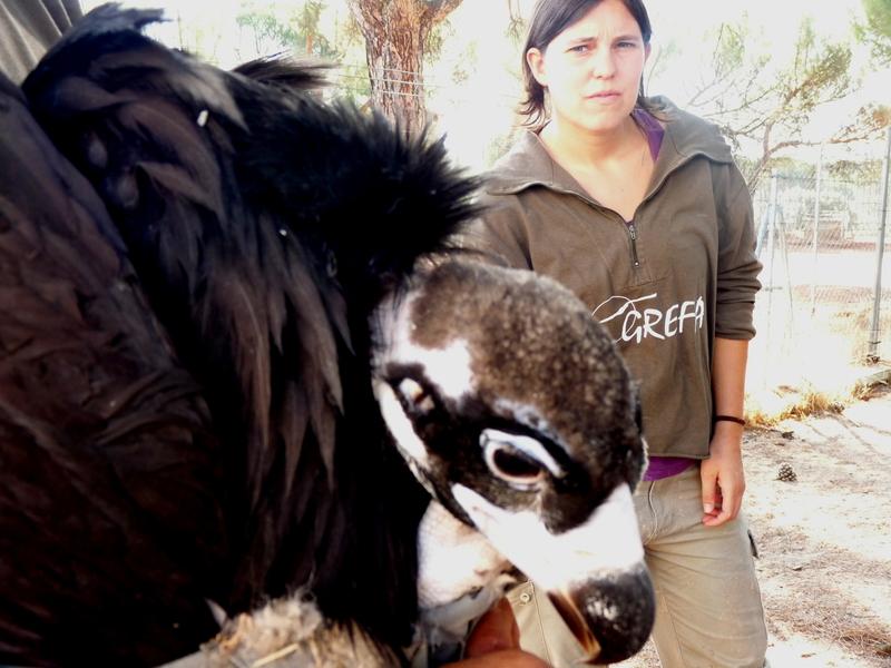 Obaga, primer buitre negro nacido en GREFA