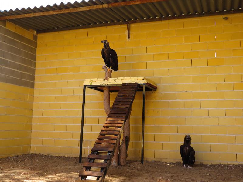 Pareja de buitres negros en su instalación en GREFA