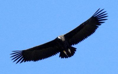Os presentamos a 'Peonía', el segundo buitre negro que echa a volar este año en la colonia pirenaica de la especie