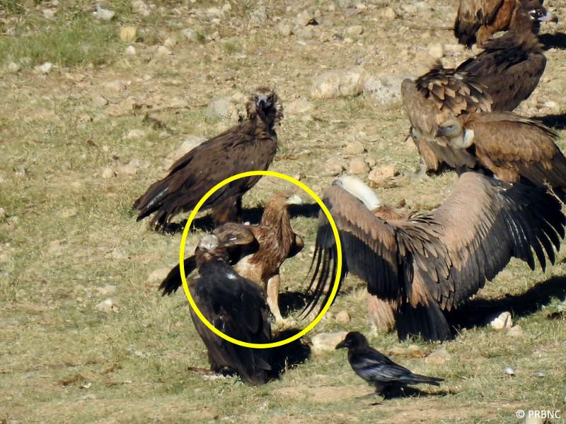 ¡Visita sorpresa! Avistada un águila imperial en Boumort