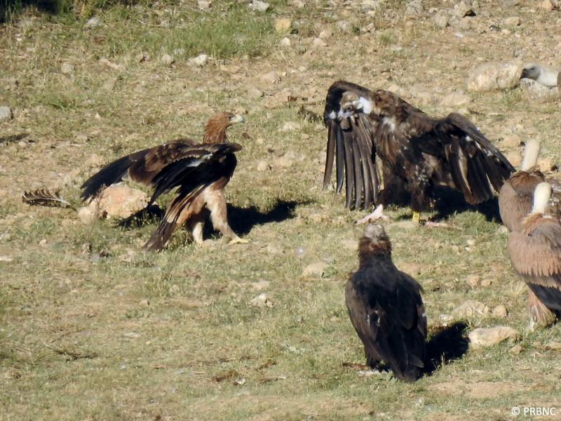 El águila imperial joven y un buitre negro anillado se retan en el PAE de Boumort. Foto: PRBNC.