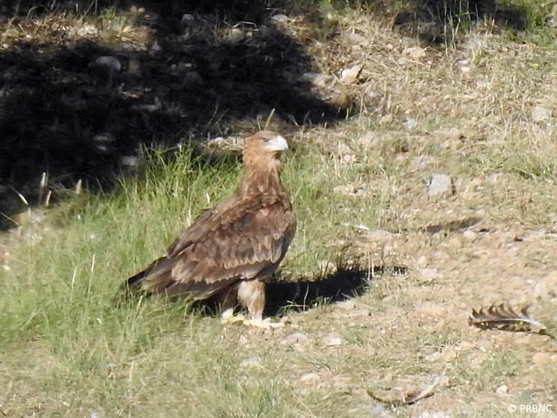 El águila imperial que apareció en el PAE de Boumort, fotografiada en solitario. Foto: PRBNC.
