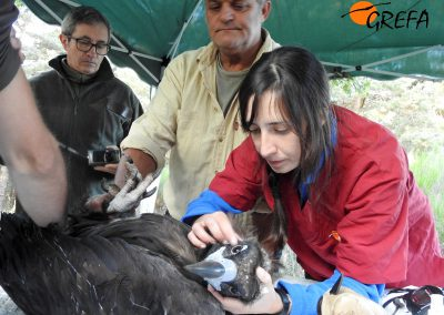 Una veterinaria de GREFA examina a uno de los buitres negros que van a ser marcados con emisor.