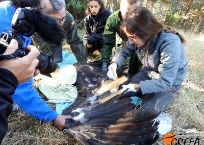 Decoloración de algunas plumas de otro de los buitres negros que van a ser marcados.