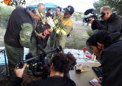 Dos cámaras graban el momento en el que se toman medidas biométricas a uno de los buitres negros que va a ser marcado con emisor.