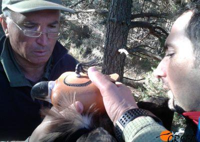 Momento en el que Víctor García (MAPAMA) procede al marcaje con emisor de un buitre negro.