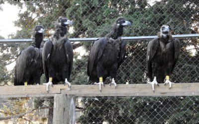 El marcaje con emisores de quince buitres negros en la Sierra de la Demanda refuerza la recuperación de esta especie amenazada