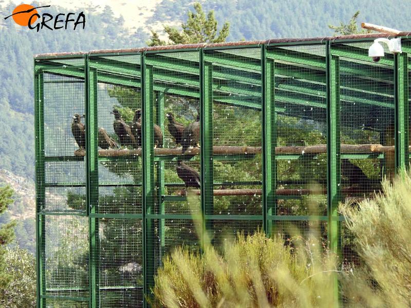 Jaulón de aclimatación de Huerta de Arriba con varios buitres negros en su interior.