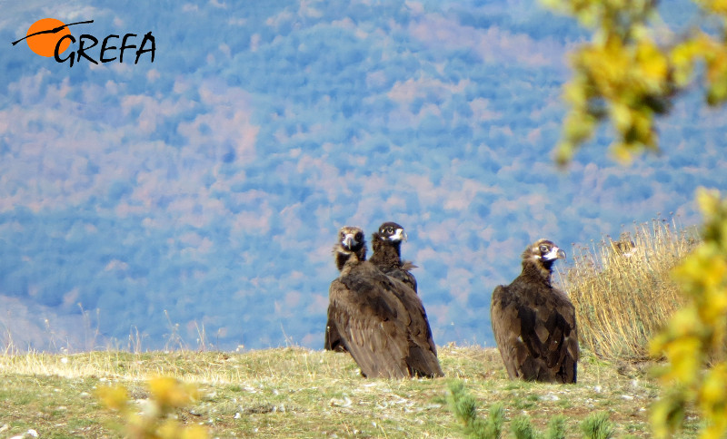El buitre negro vuelve a la Sierra de la Demanda tras la liberación de quince ejemplares