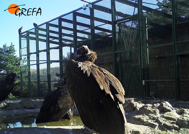 Buitres negros liberados junto al jaulón de aclimatación.