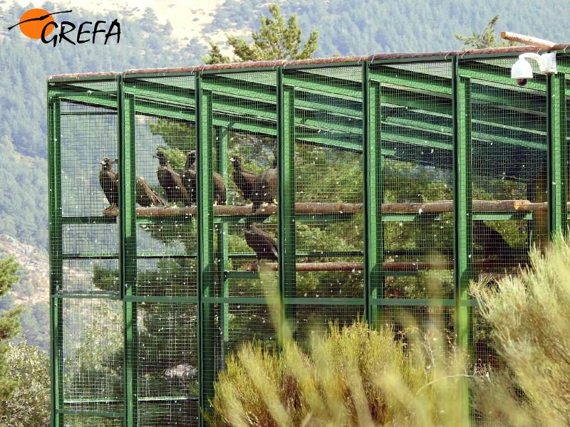 Buitres negros dentro del jaulón de aclimatación.