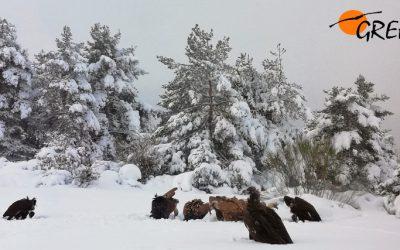 Novedades del Proyecto Monachus en la Sierra de la Demanda: nueve buitres negros fijados, primeras cópulas y más cosas…