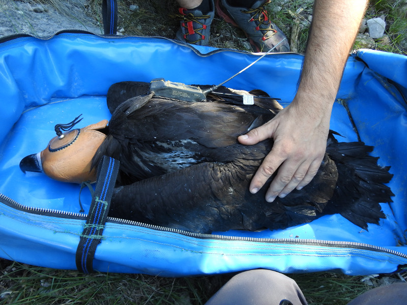 Pollo de buitre negro nacido en Pirineos, tras ser marcado con un emisor. Foto: PRBNC / Buseu Project.