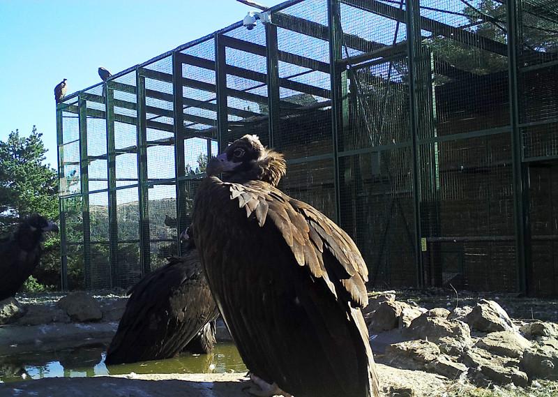 Varios buitres negros reposan junto al jaulón de aclimatación para la especie construido en la Sierra de la Demanda. Foto: GREFA.