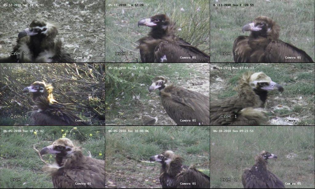 Figura 4: Ejemplos de fotos de perfil de ejemplares exógenos captadas con la cámara de videovigilancia utilizadas para determinar el número mínimo de ejemplares presentes durante la monitorización del PAE.