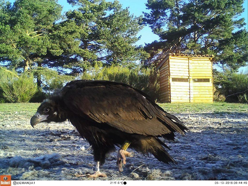 Foto: Imagen captada por fototrampeo de uno de los buitres negros anillados procedentes de otras colonias. Al fondo, el hide desde el que se realiza la monitorización del PAE.