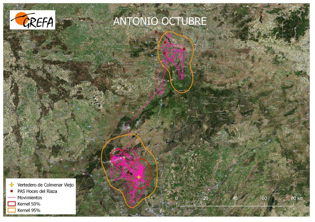 Figura 7. Movimientos (morado) y área vital (rojo) y de campeo (naranja) de Antonio durante el mes de octubre.