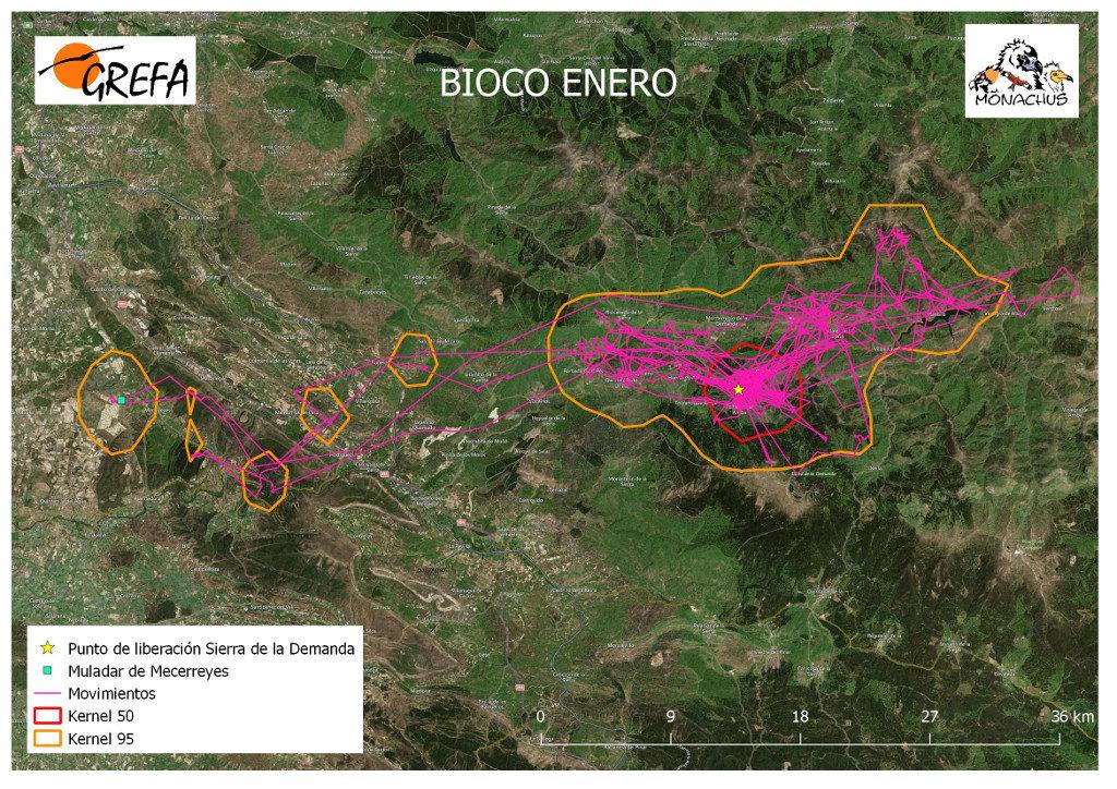 Mapa 11. Movimientos (morado) y área vital (rojo) y de campeo (naranja) de Bioco durante el mes de enero.