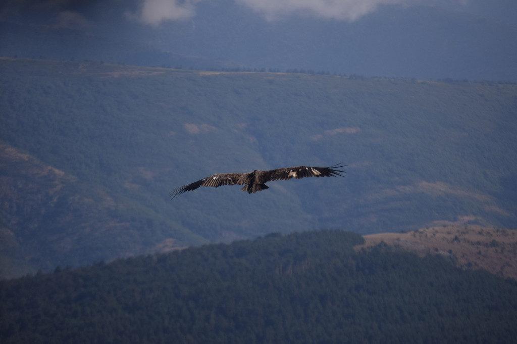 Figura 4. Arrañón sobrevuela la Sierra de la Demanda.