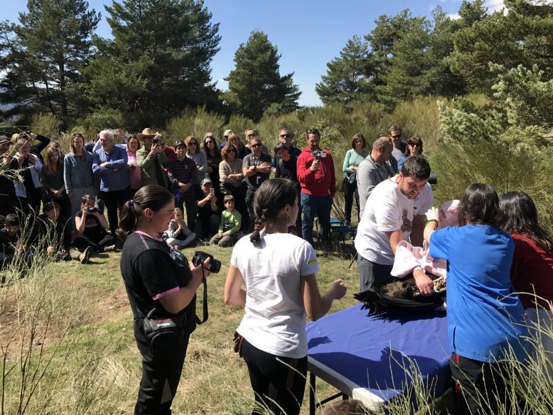 Imagen 2: Momento del chequeo veterinario público de uno de los 9 buitres negros introducidos en la jaula de aclimatación el día 23 de marzo.