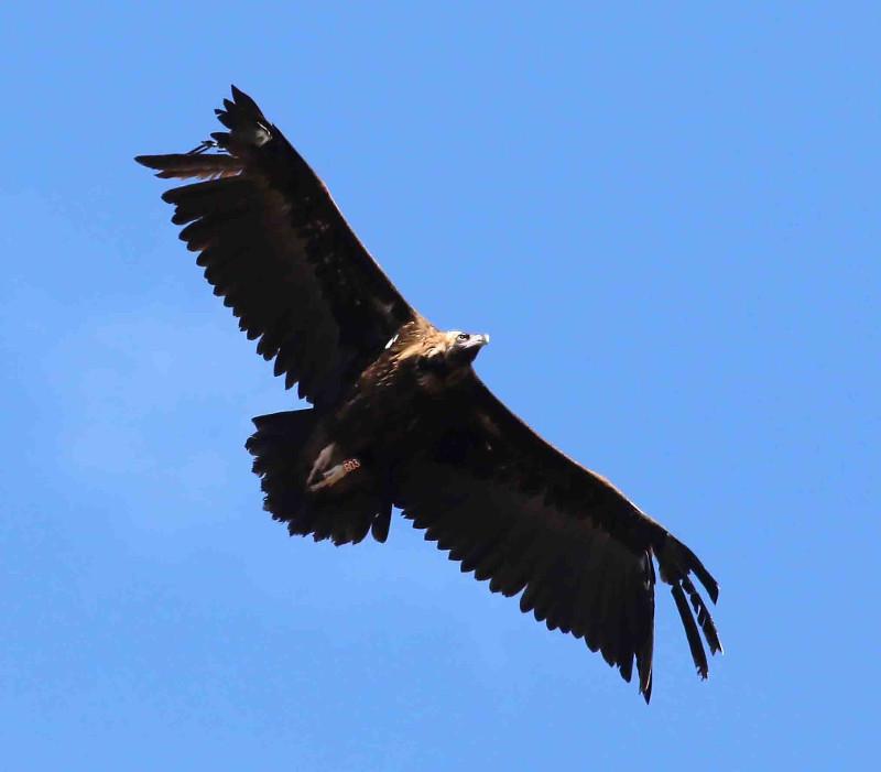 """Estampa de """"Bera"""" en vuelo, donde se aprecia que le faltan varias plumas primarias. Foto: Juan José Molina."""