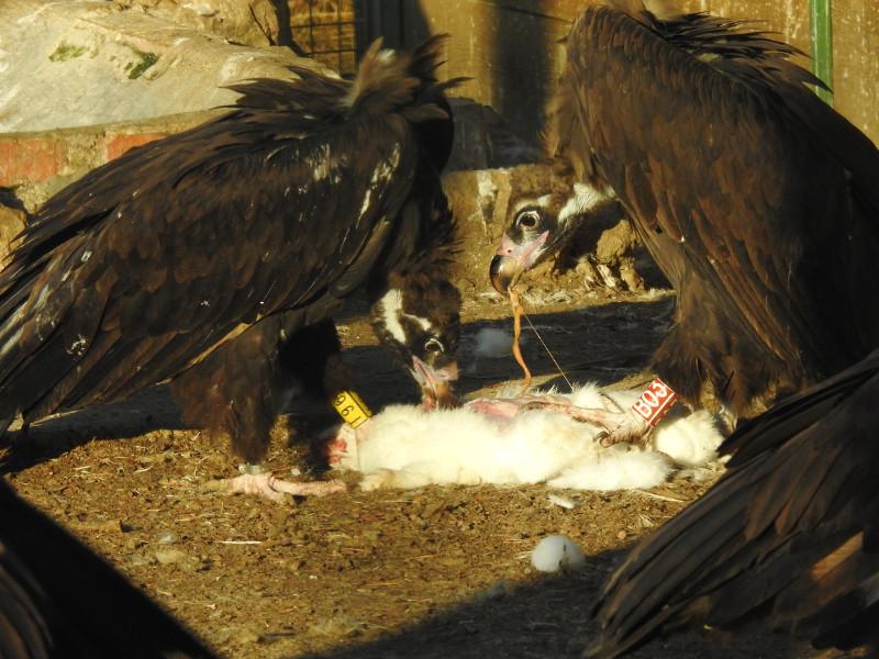 """El macho de buitre negro """"Bernabé"""" (a la izquierda) y la hembra """"Bera"""", en la jaula de aclimatación de Huerta de Arriba (Burgos)."""