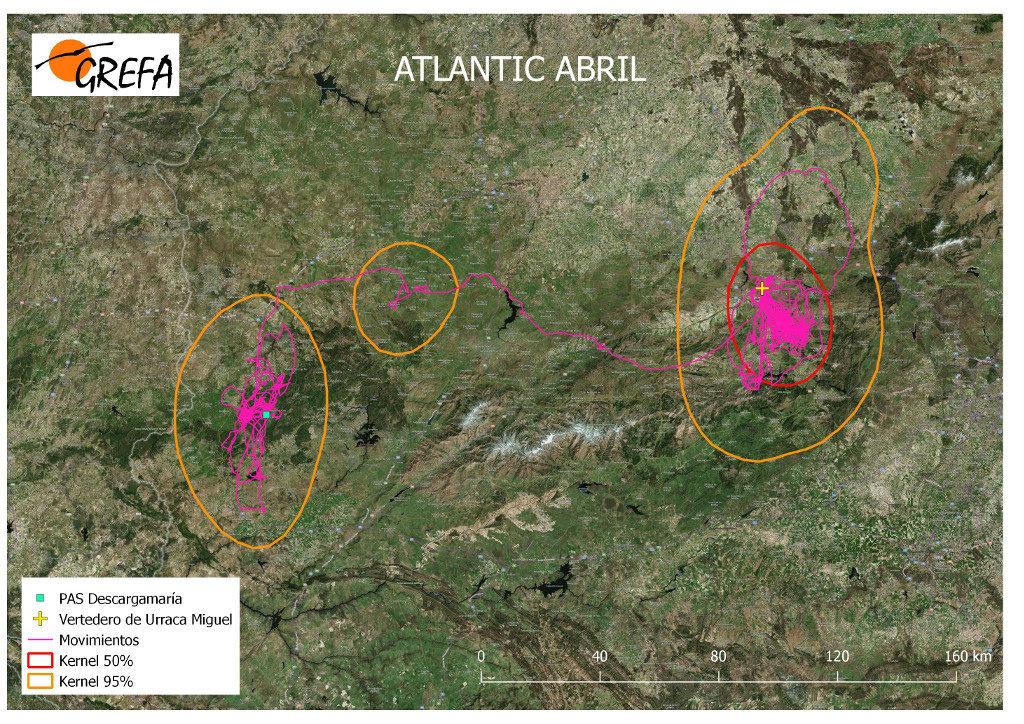 Mapa 19. Movimientos de Atlantic durante el mes de abril. La línea amarilla delimita el área de campeo (Kernel 95%) y la roja el área vital (Kernel 50%).