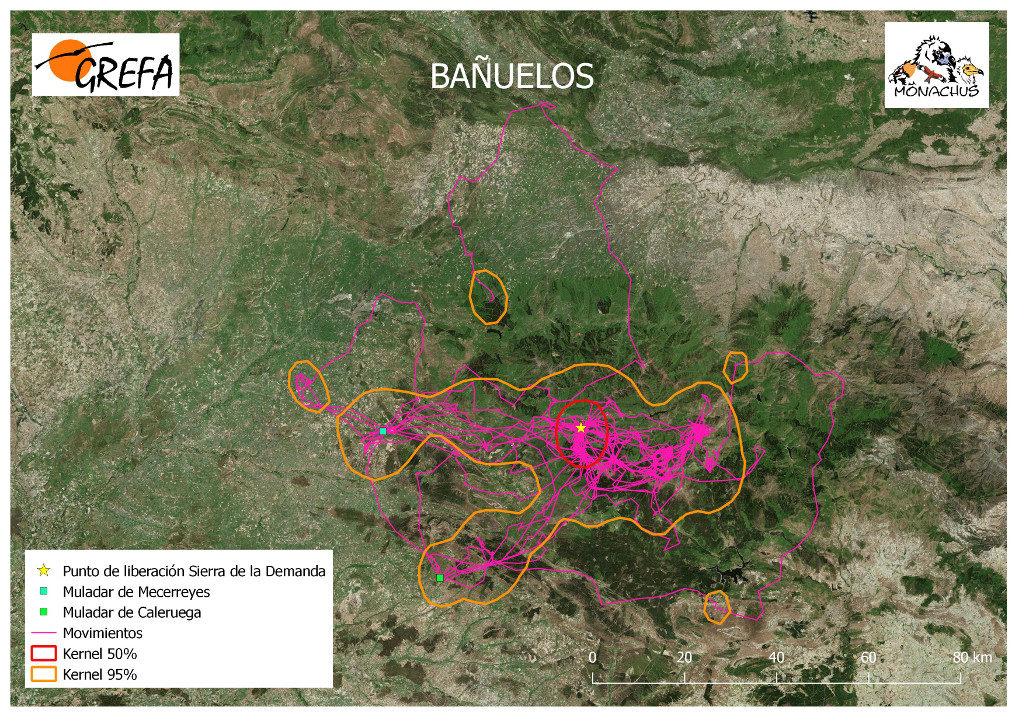 Mapa 7. Movimientos de Bañuelos durante el mes de junio. La línea amarilla delimita el área de campeo (Kernel 95%) y la roja el área vital (Kernel 50%).