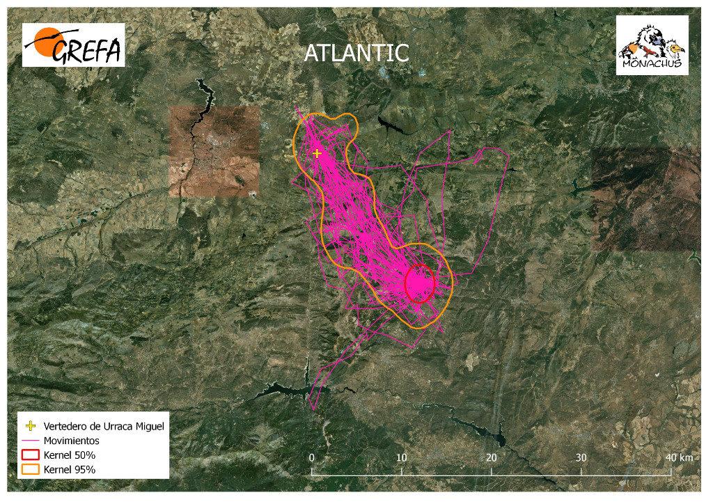 Mapa 16. Movimientos de Atlantic durante el mes de junio. La línea amarilla delimita el área de campeo (Kernel 95%) y la roja el área vital (Kernel 50%).