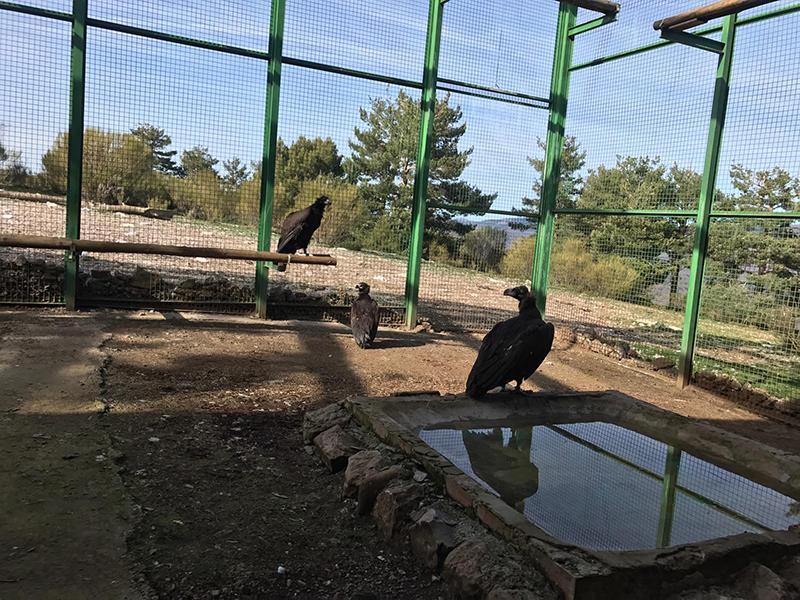 NOTA DE PRENSA: Trece buitres negros llegaron hoy a la Sierra de la Demanda como paso previo a su liberación