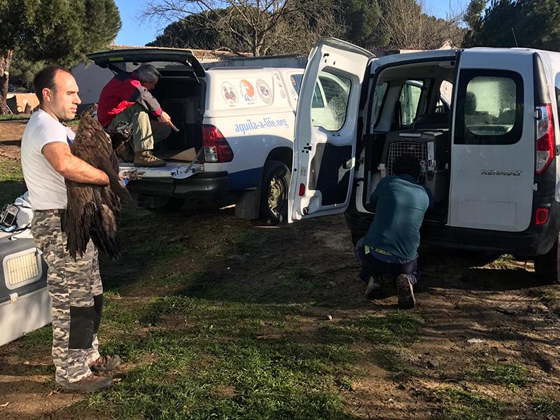 Momento de la subida a los vehículos de los buitres negros que fueron trasladados hoy desde el Hospital de Fauna de GREFA a Huerta de Arriba.