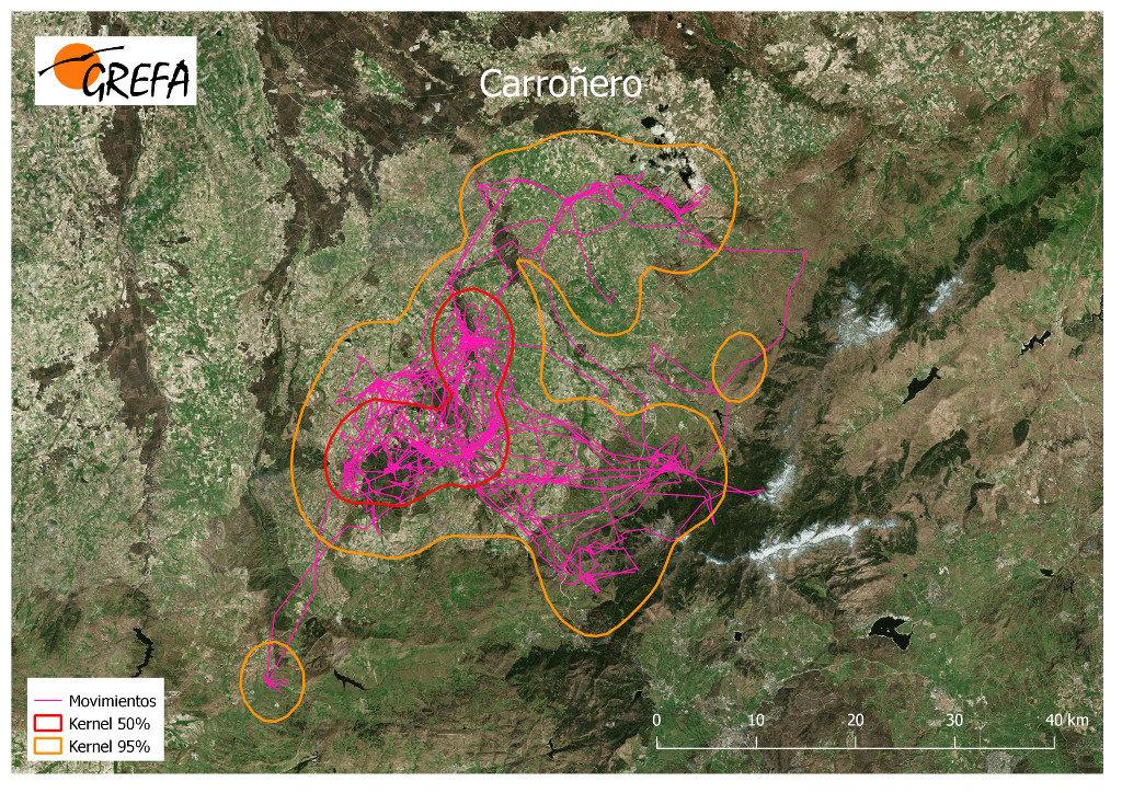 Mapa 17. Movimientos de Carroñero durante los meses de noviembre y diciembre. La línea amarilla delimita el área de campeo (Kernel 95%) y la roja el área vital (Kernel 50%).