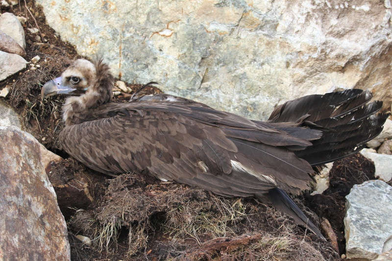 """""""Brínzola"""", en el momento de ser localizada con una fractura de ala, en la zona donde hubo que ir a rescatarla. Foto: Egil Ween."""