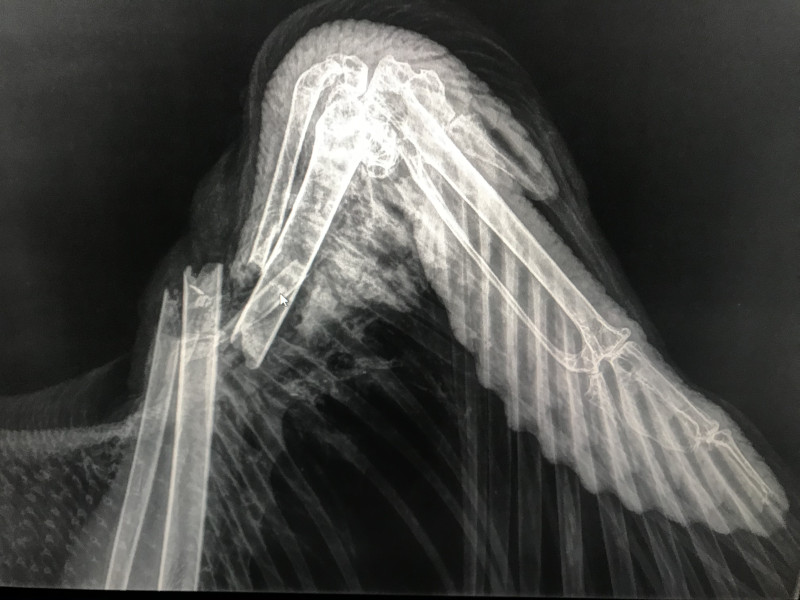 """Radiografía del ala derecha de """"Brínzola"""", con la fractura que ha sufrido. Foto: Egil Ween"""
