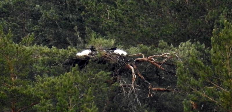NOTA DE PRENSA: El buitre negro vuelve a criar en el Sistema Ibérico, tras más de medio siglo extinguido