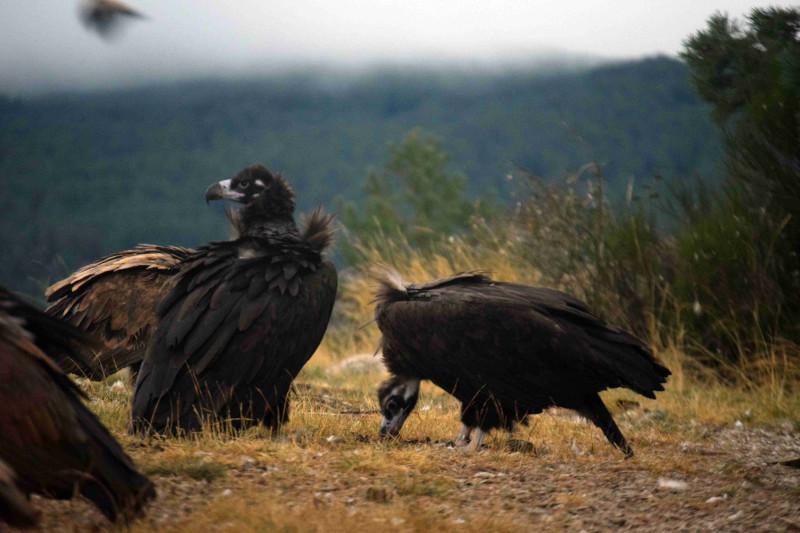 """""""Acebo"""" (a la izquierda) y """"Arca"""" son la primera pareja de buitre negro que cría en la Sierra de la Demanda."""